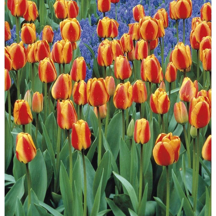 Garden State Bulb 18-Pack Apeldoorn Elite Tulip Bulbs