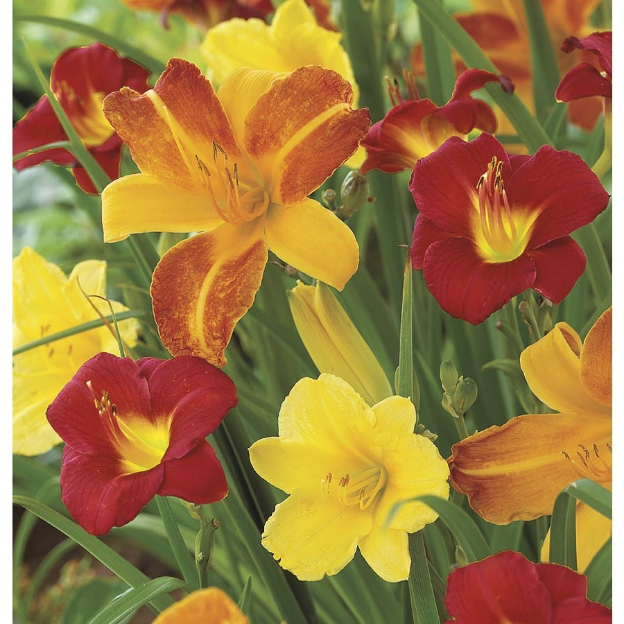 Garden State Bulb 6-Pack Reblooming daylily (mixed) Bulbs (L23547)