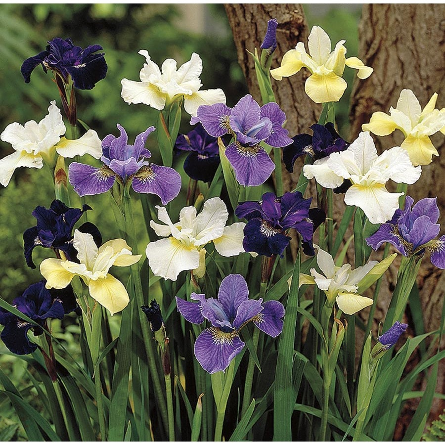 Garden State Bulb 6-Pack Siberian Squill (Mixed) Bulbs