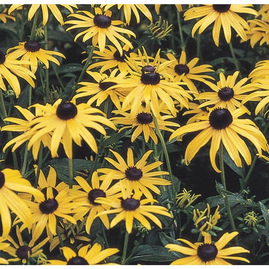 Garden State Bulb 6-Pack Black-Eyed Susan Bulbs
