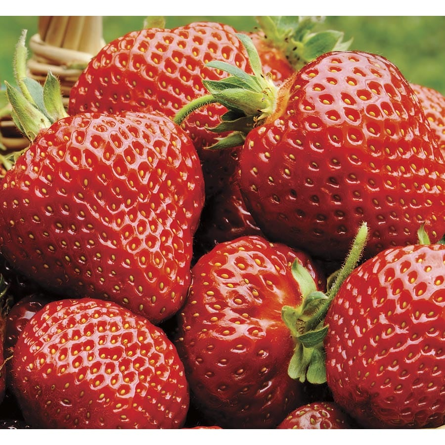Garden State Bulb 1-Pack Strawberry Ozark Beauty Bulbs (L20784)