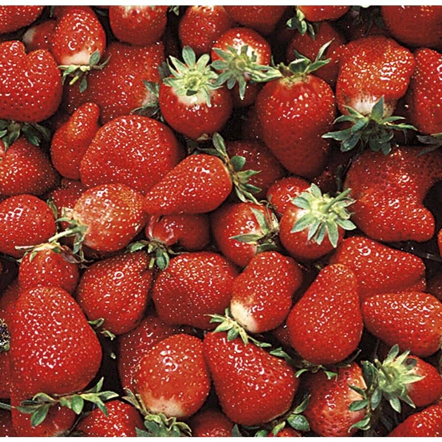 Garden State Bulb 10-Pack Allstar Strawberry Bulbs