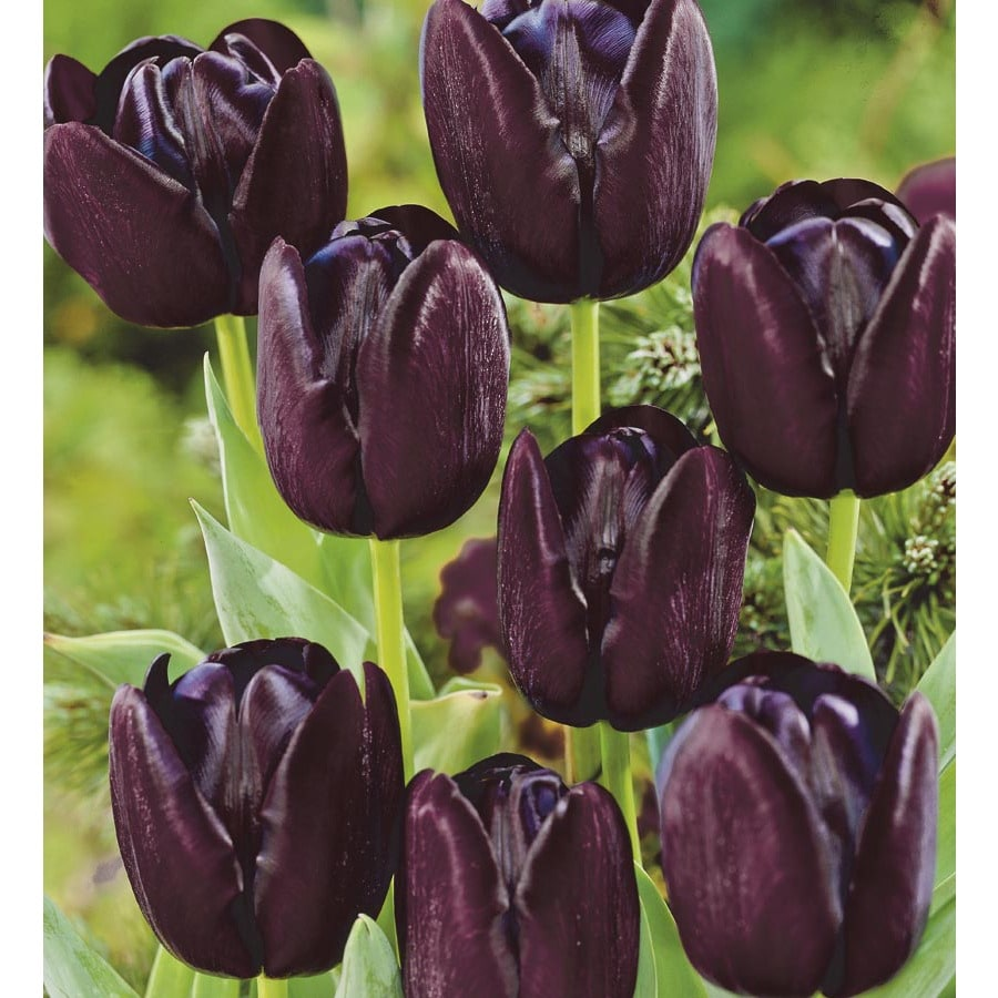 Garden State Bulb 18-Pack Queen of Night Tulip Bulbs