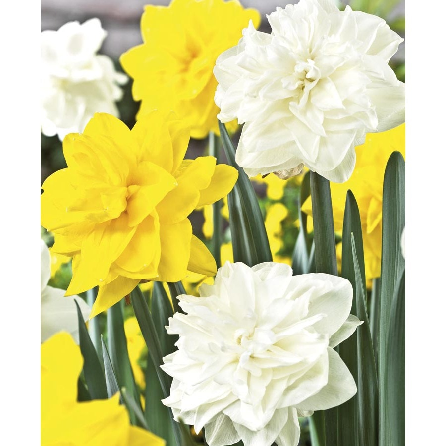Garden State Bulb 30-Pack Double Daffodil Collection Bulbs