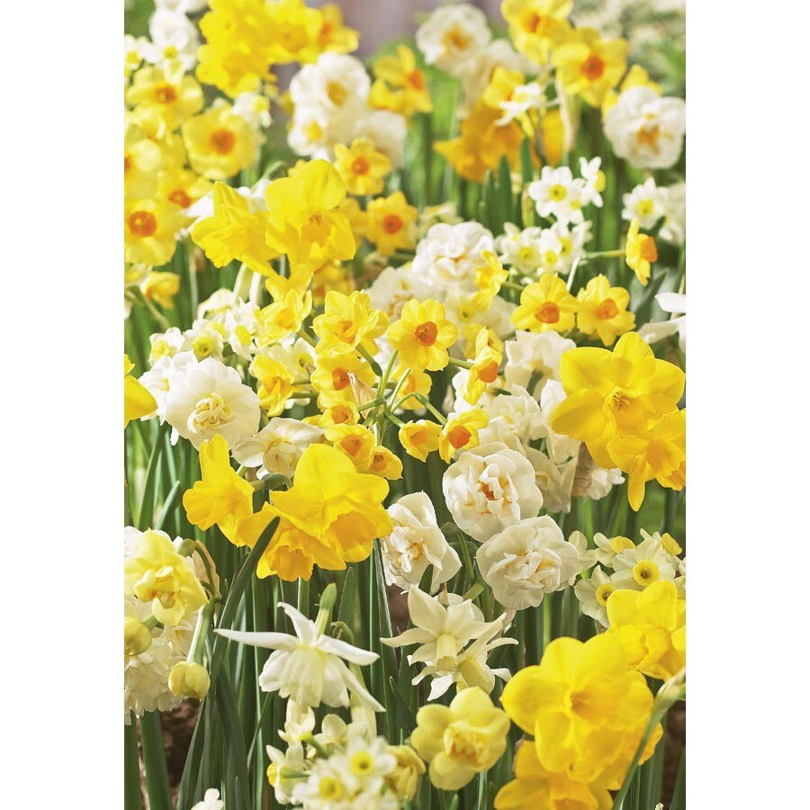 Garden State Bulb 30-Pack Fragrant Daffodil Collection Bulbs