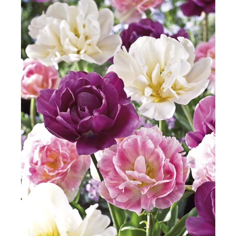 Garden State Bulb 30-Pack Double Tulip Collection Bulbs