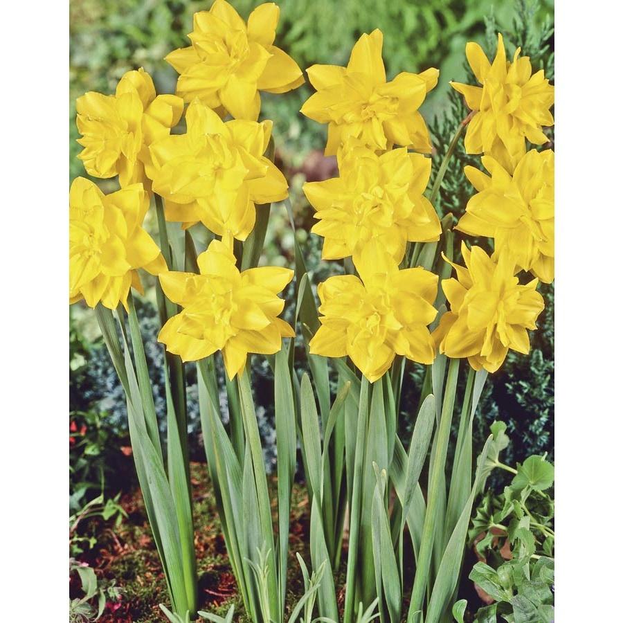 Garden State Bulb 15-Pack Golden Ducat Daffodil Bulbs (LB20146)