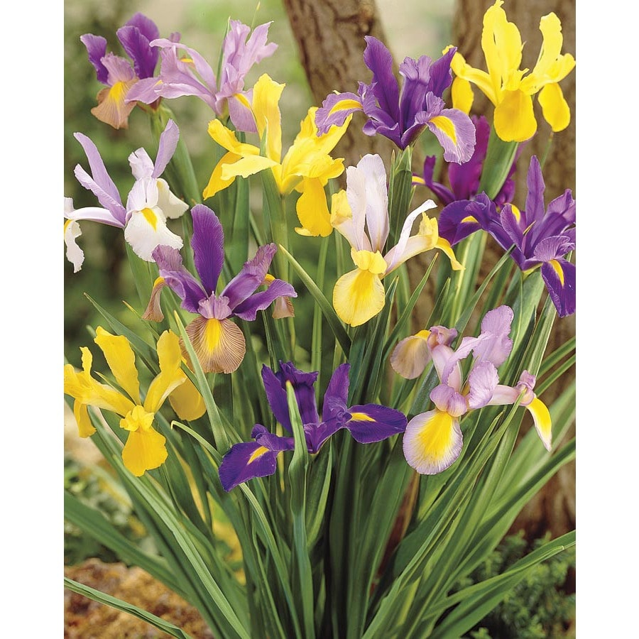 Garden State Bulb 60 Pack Dutch Iris Mix (L5801)