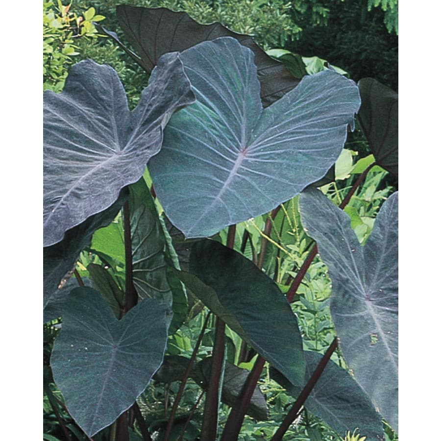 Garden State Bulb Black Magic Elephant Ear Bulb