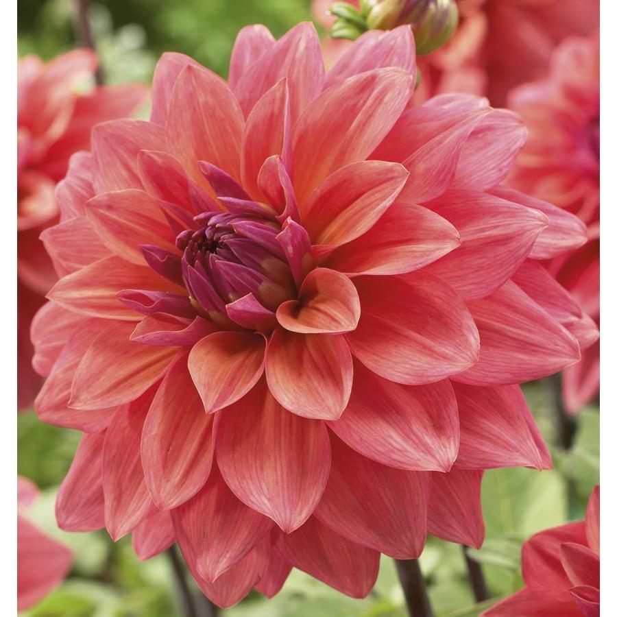 Garden State Bulb 2-Pack Dahlia American Dawn Bulbs (LB22548)