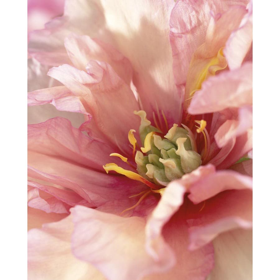 Garden State Bulb Julia Rose Itoh Peony Bulb