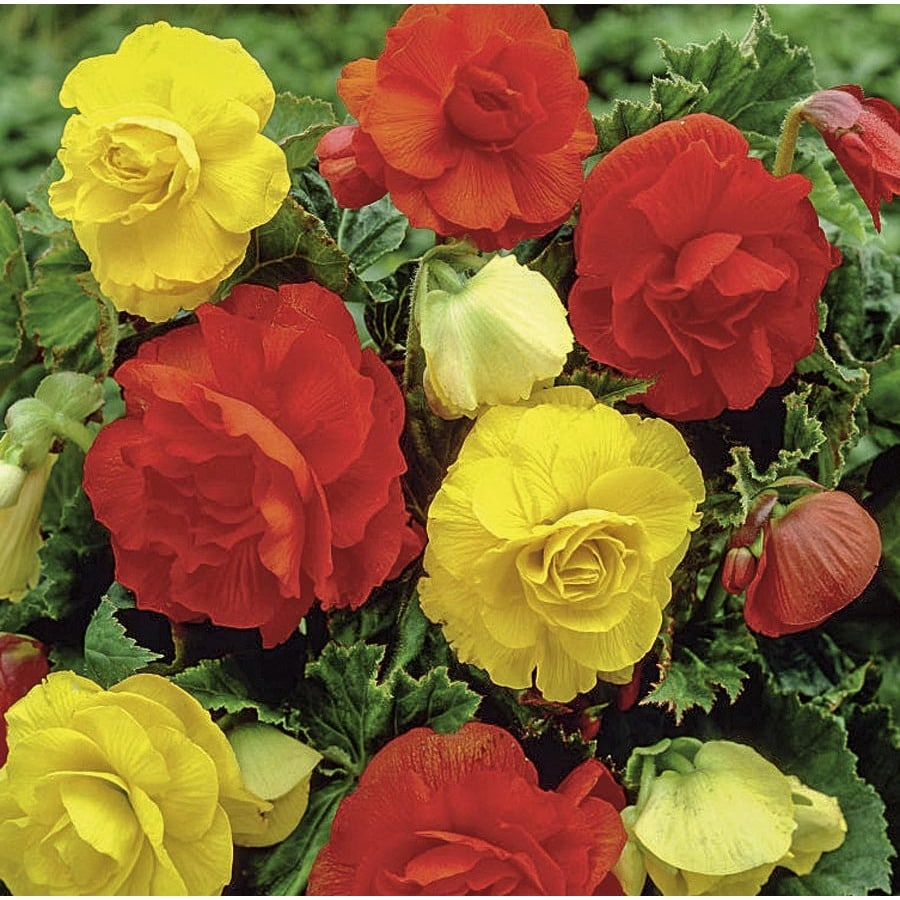 Garden State Bulb 3-Count Begonia Double Mixed Bulbs