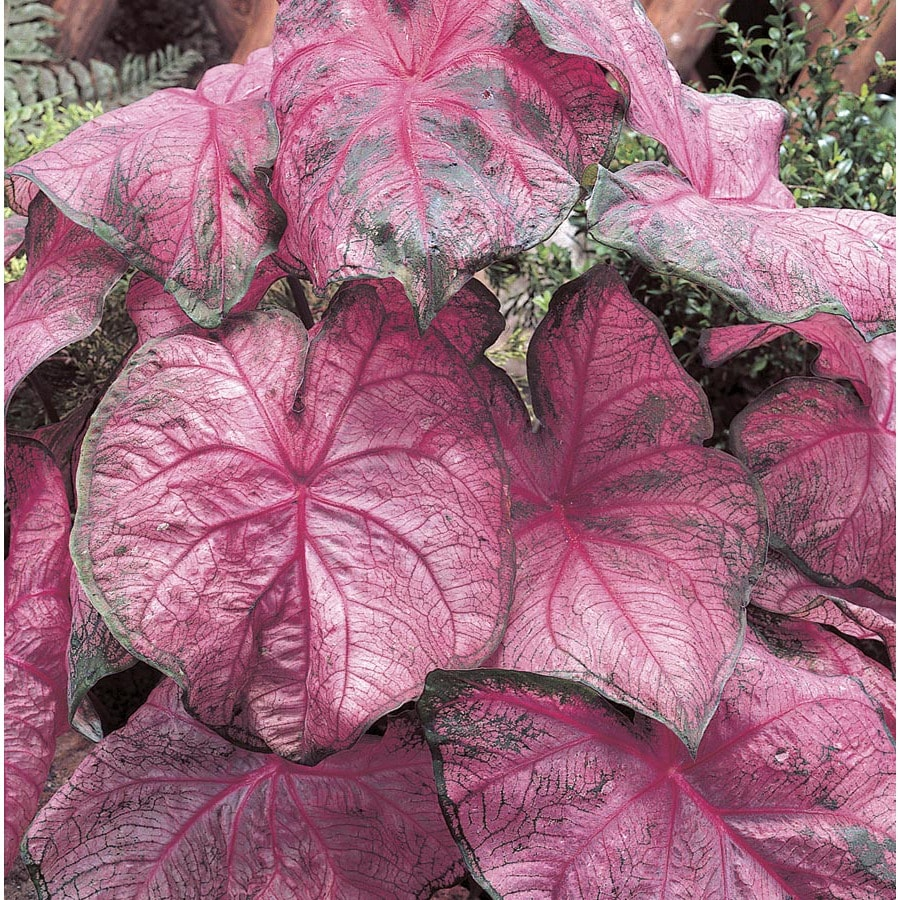 Garden State Bulb 8-Pack Caladium Pink Passion Bulbs (L15252)