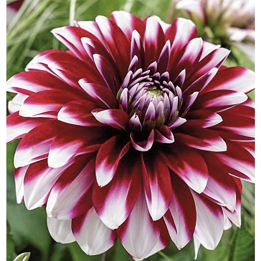 Garden State Bulb 2-Count Dahlia Karma Yin Yang Bulbs