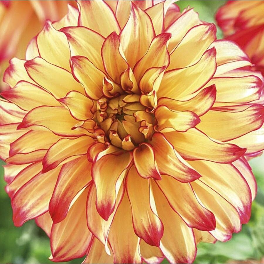 Garden State Bulb 2-Count Dahlia Lady Darlene Bulbs