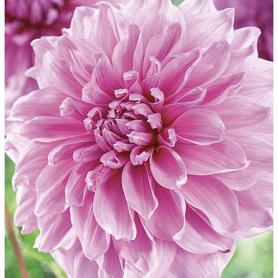 Garden State Bulb 2-Count Dahlia Lavender Perfection Bulbs