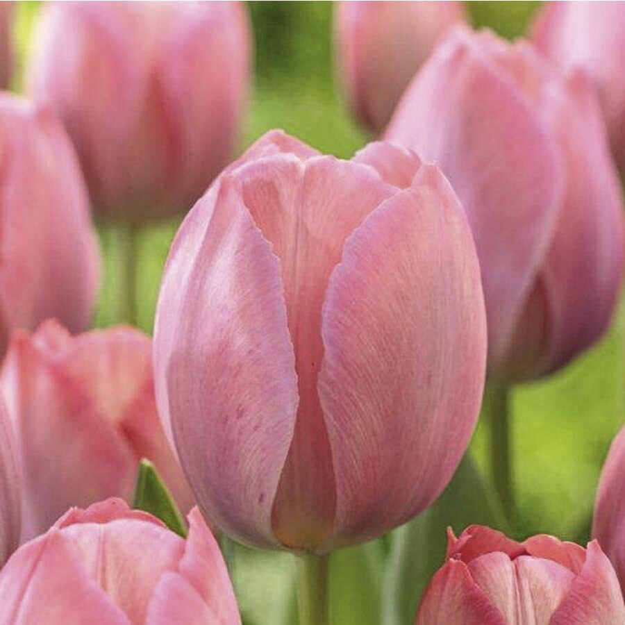 Shop Garden State Bulb 10 Pack Mystic Van Eijk Tulip Bulbs
