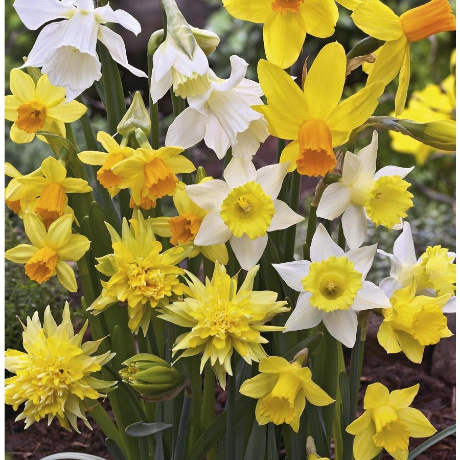 Garden State Bulb 15-Pack Rock Garden Jonquil Daffodil Blend Bulbs
