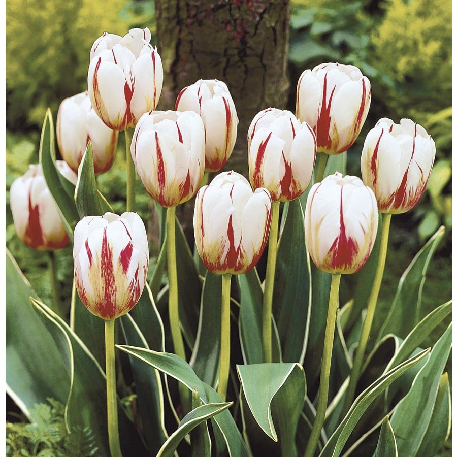 Garden State Bulb 15-Pack Happy Generation Tulip Bulbs