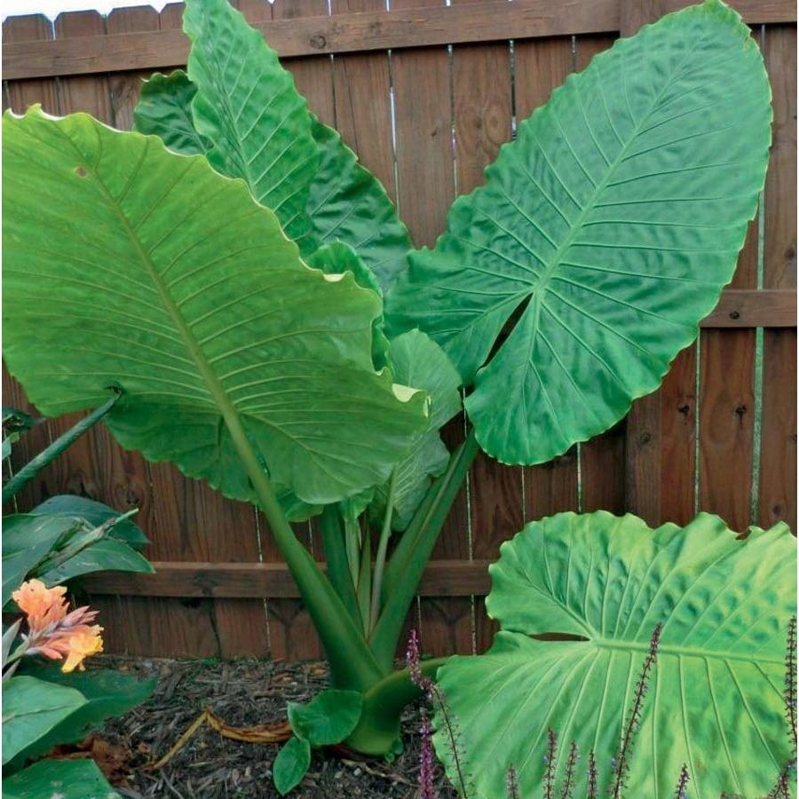 Garden State Bulb Portora Alocasia (L24984)