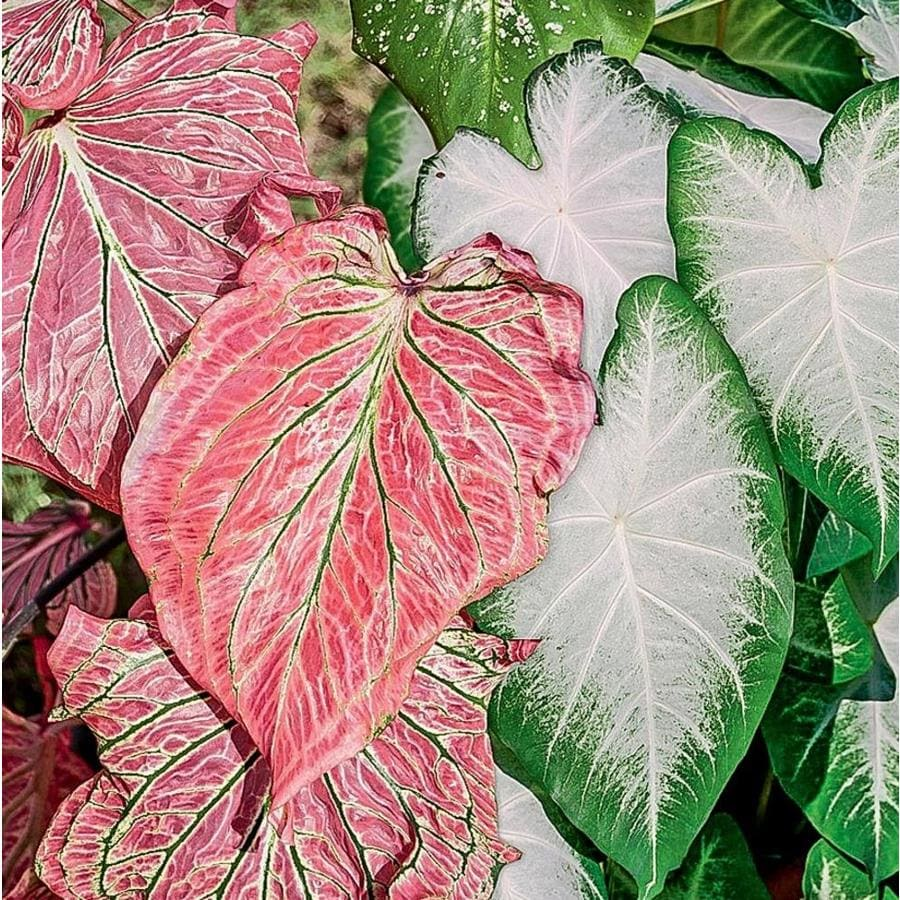 Garden State Bulb 4-Count Temporary Pink Symphony and Aaron Caladium (Lb22639)