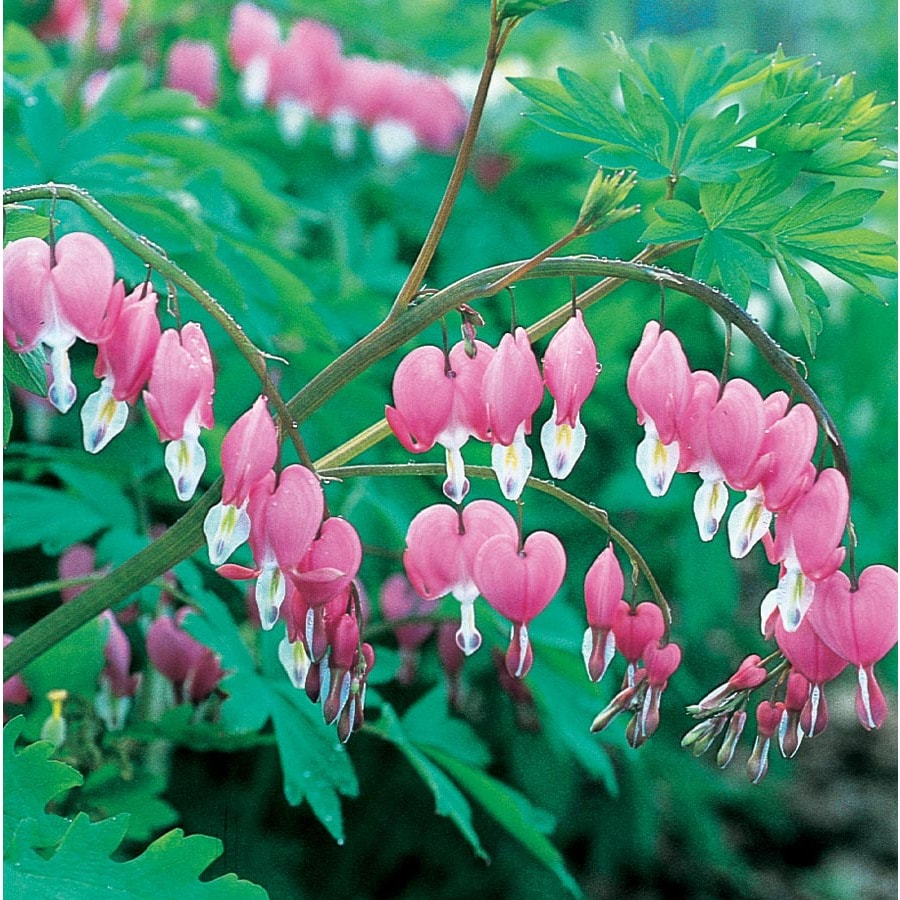 Garden State Bulb 2-Count Container Bleeding Heart (L3481)