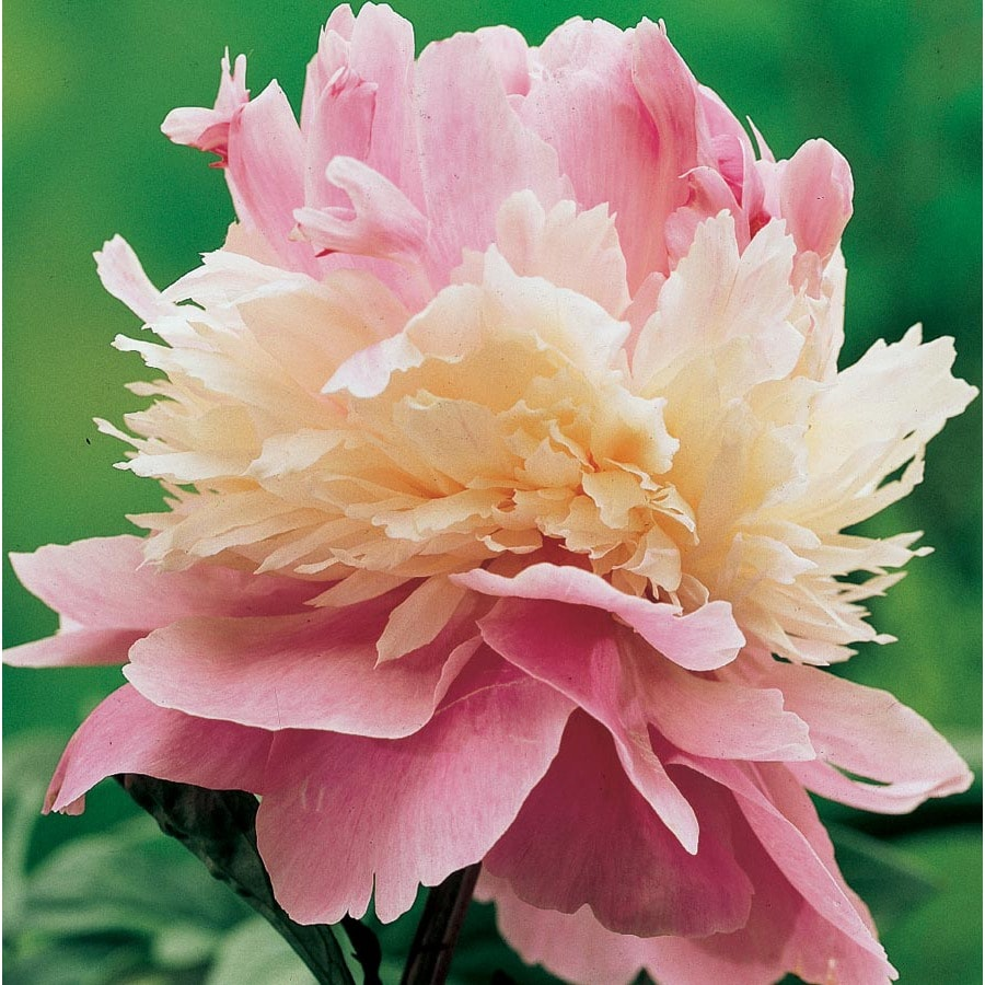 Outdoor flowers that like sun - Garden State Bulb Container Sorbet Peony L20834