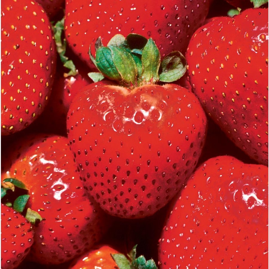 Garden State Bulb 10-Count Earliglow Strawberry Small Fruit (L22659)