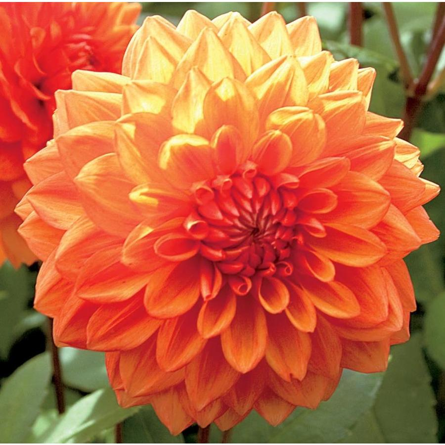 Garden State Bulb 3 Count Mrs. Eileen Decorative Dahlia (LB22131)