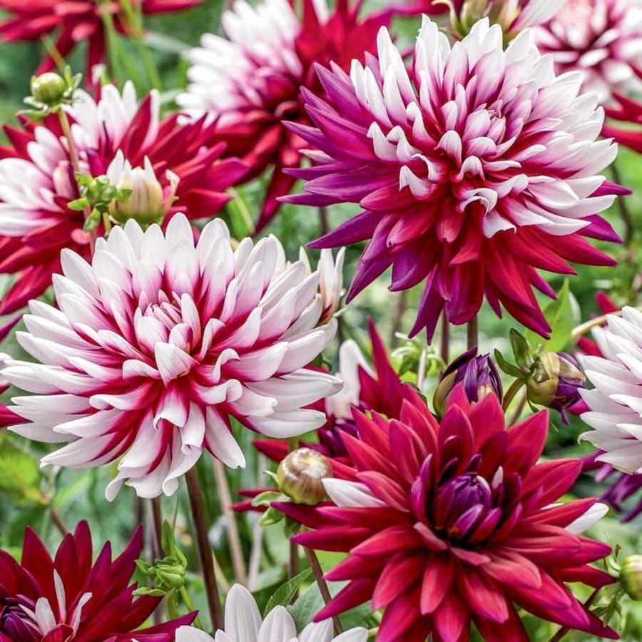 Garden State Bulb 3 Count Rebecca's World Dahlia (LB22645)
