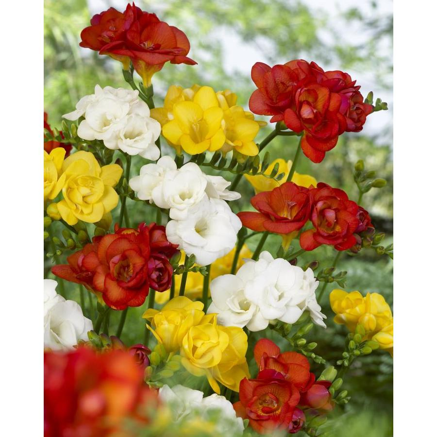 Garden State Bulb 25-Pack Freesia Double Mixed Bulbs (LW318a)