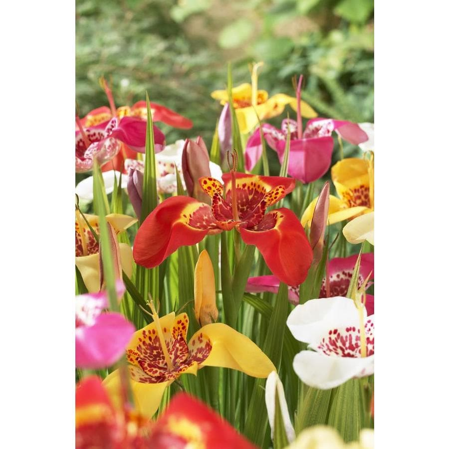 Garden State Bulb 25-Pack Tigridia Mixed Bulbs (LB22716)