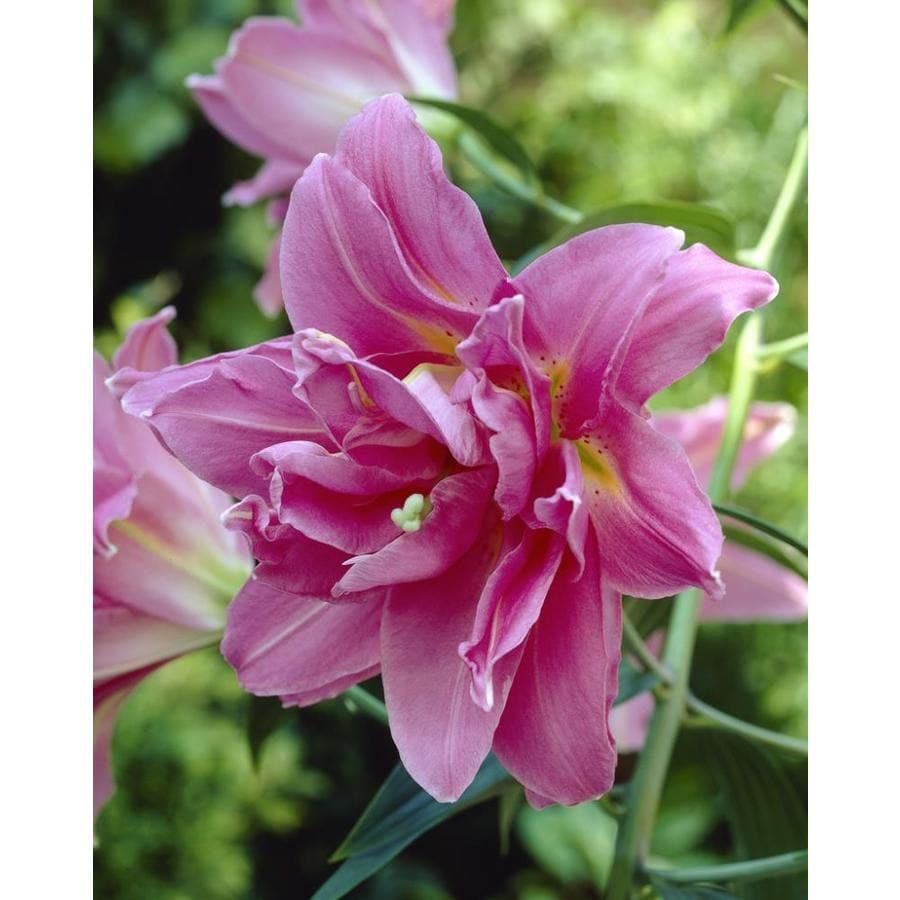 Shop Garden State Bulb 4 Pack Lily Double Surprise Bulbs Lb22717