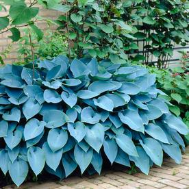 Garden State Bulb 3-Pack Hosta Blue Mixed Bulbs (LB22720)