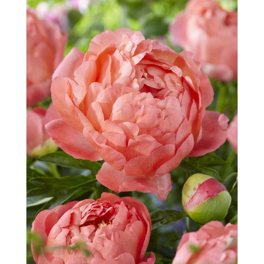 Garden State Bulb 1 Pack Paeonia Coral Sunset Bulbs Lb22721 In The Plant Bulbs Department At Lowes Com