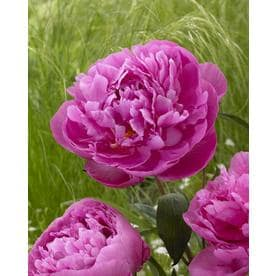 Garden State Bulb Paeonia Dr Alexander Fleming Bulbs (L8650)