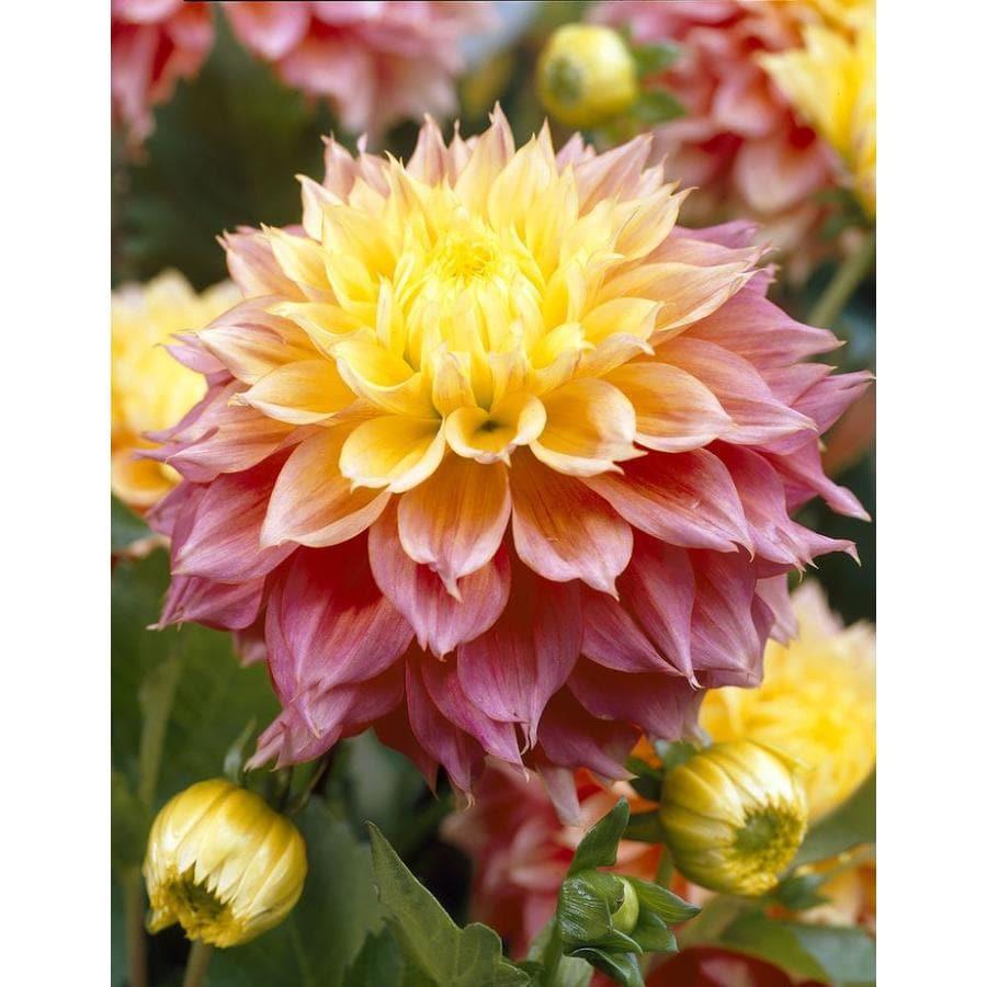 Garden State Bulb 4-Pack Dahlia Kogane Fubuki Bulbs (LB22089)