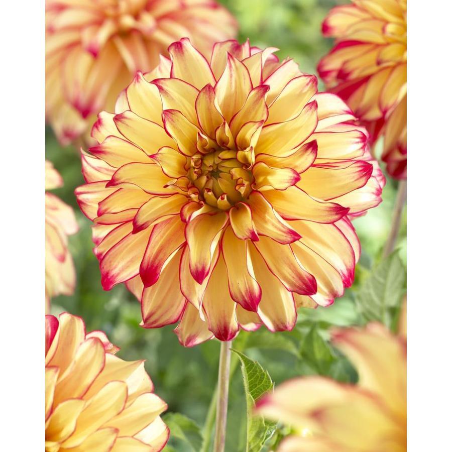 Garden State Bulb 4 Pack Dahlia Lady Darlene Bulbs Lb22624 At