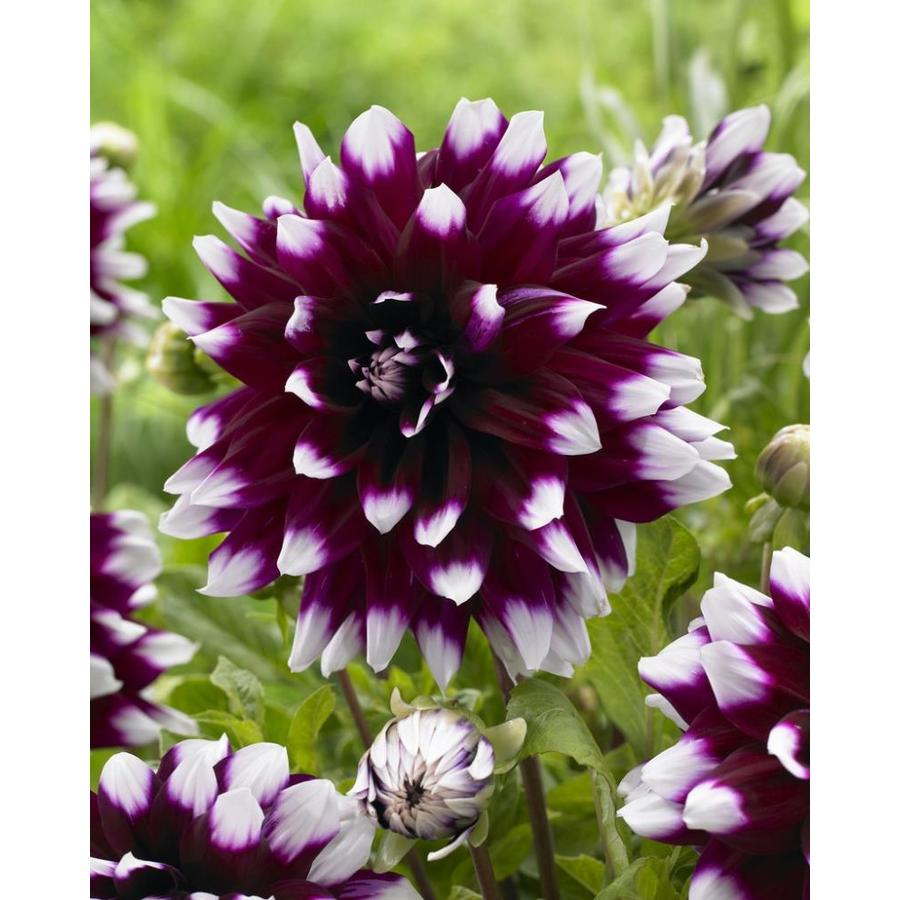 Garden State Bulb 4 Pack Dahlia Mystery Day Bulbs Lb21622 At Lowes Com