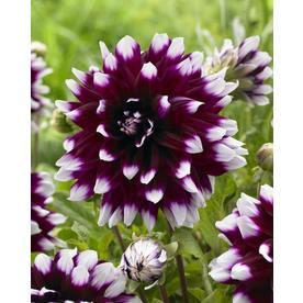 Garden State Bulb 4-Pack Dahlia Mystery Day Bulbs (LB21622)