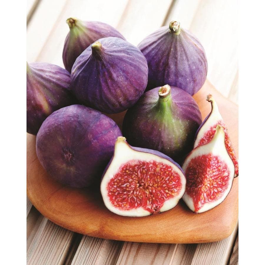 Garden State Bulb Ficus carica Fig Chicago (LW00213)
