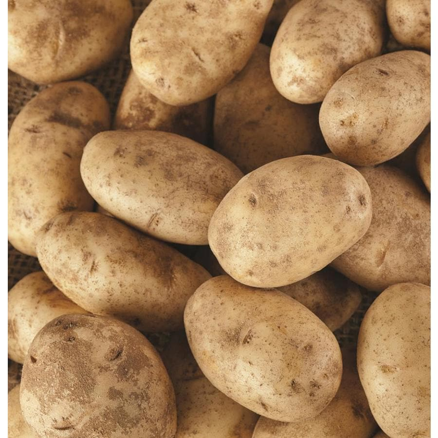 Shop Garden State Bulb 8-Pack Seed Potato Kennebec Bulbs (LB21612 ...
