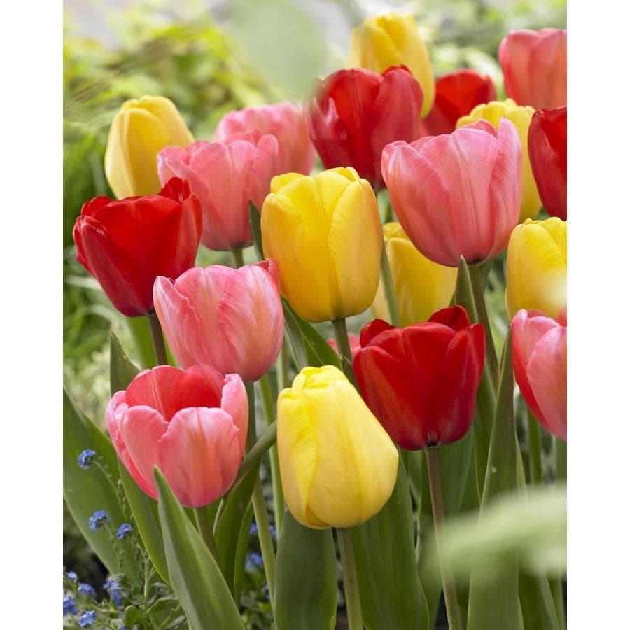 Shop Garden State Bulb 50 Pack Darwin Hybrid Mixed Tulip