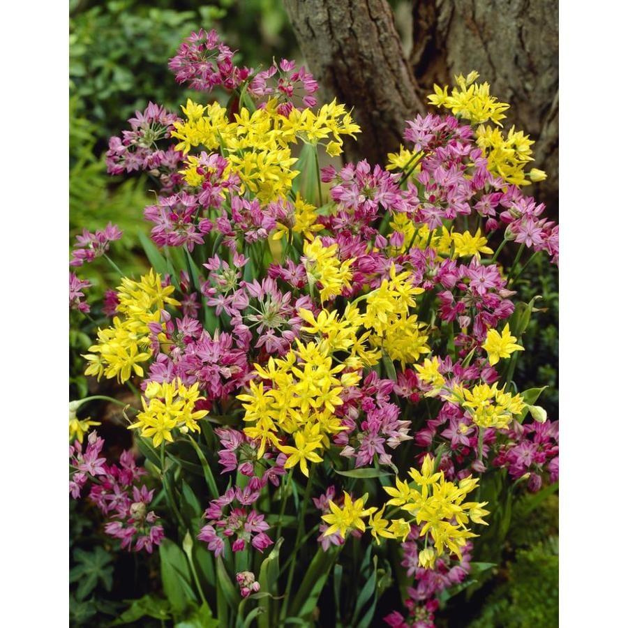 Garden State Bulb 20.0 Pack Miniature Yellow and Pink Mixed Allium Bulbs (LB21115)