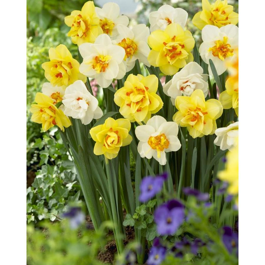 Garden State Bulb 30-Pack Double Mixed Daffodil Bulbs (LB421C)