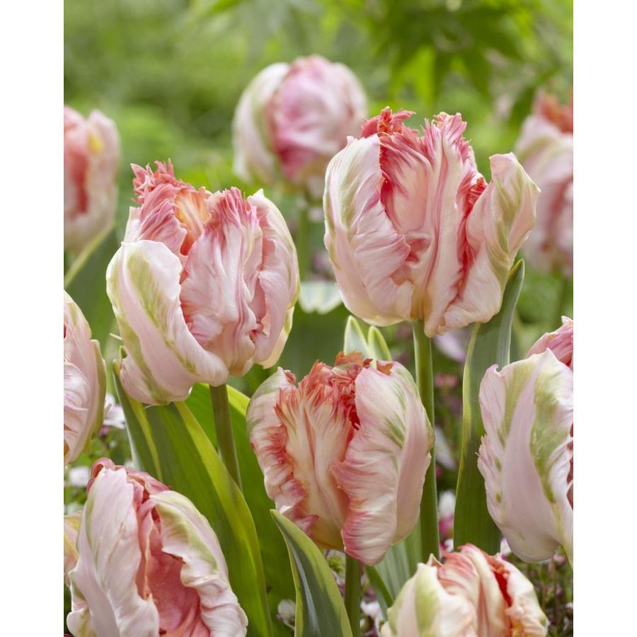 Garden State Bulb 15-Pack Parrot Magic Tulip Bulbs (L28973)