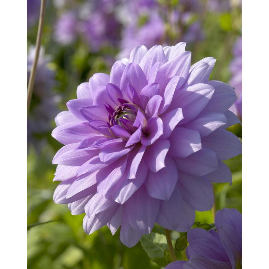 Shop Garden State Bulb 3 Pack Dahlia Blue Boy Bulbs Lb22106 At