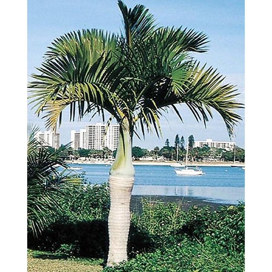4.5-Gallon Spindle Palm (L11094)