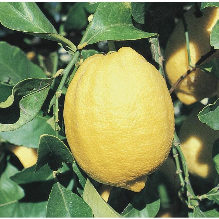2.5-Quart Lemon Tree (L11375)