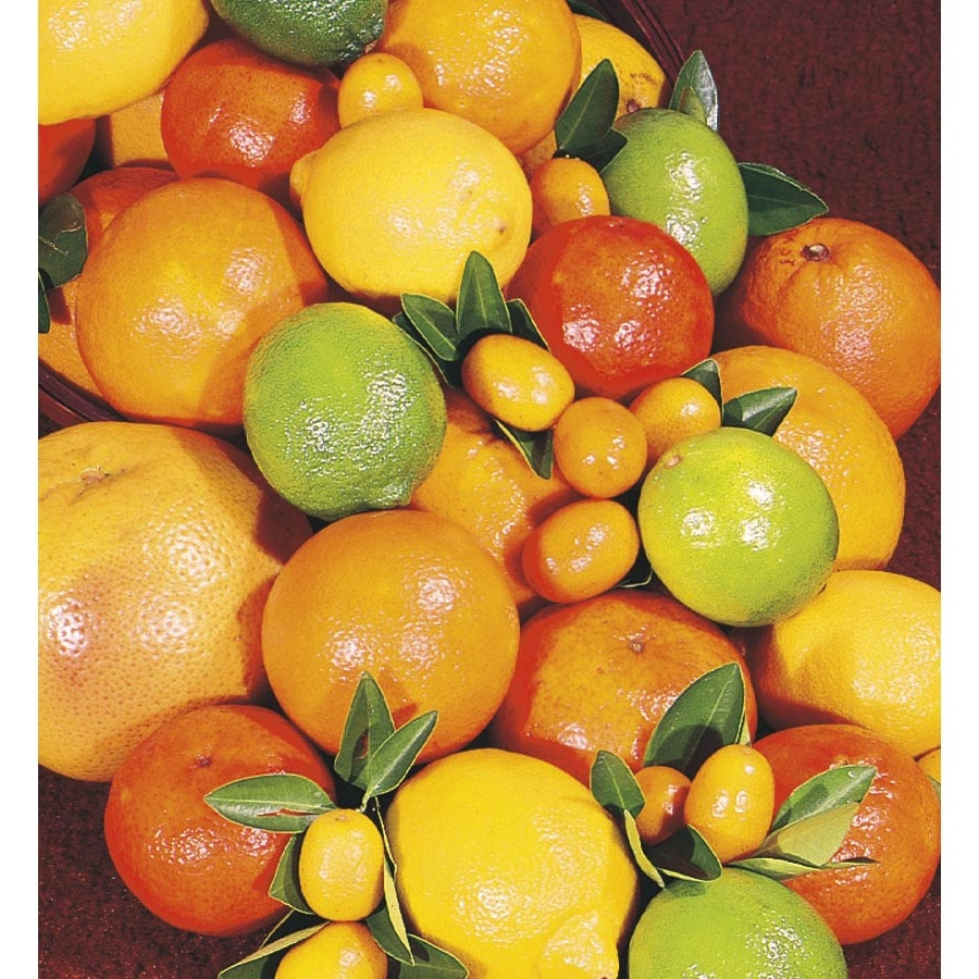 10-Gallon Citrus Cocktail Tree (L6805)